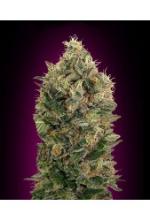 Black Diesel de Advanced Seeds