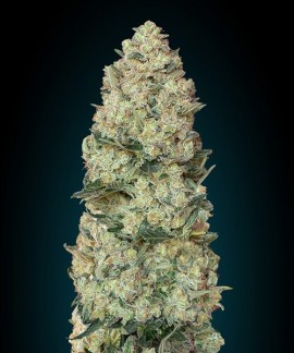 comprar Critical de Advanced Seeds