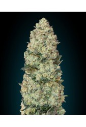 Critical de Advanced Seeds