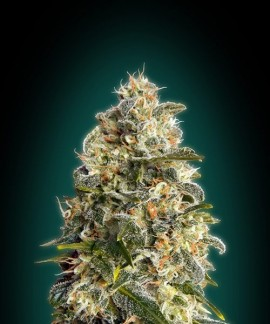 comprar Heavy Bud de Advanced Seeds