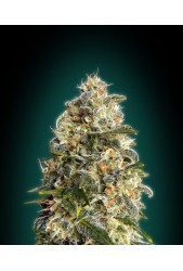 Heavy Bud de Advanced Seeds