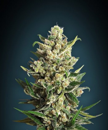 Comprar Ice Kush de Advanced Seeds
