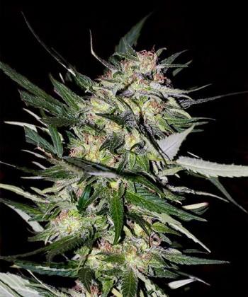 Comprar Jack Plant de Advanced Seeds