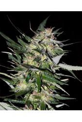 Jack Plant de Advanced Seeds
