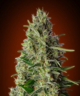 comprar Kali 47 de Advanced Seeds