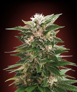 comprar Kaya 47 de Advanced Seeds