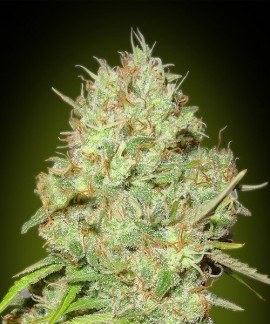 comprar Shark Widow de Advanced Seeds