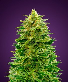 comprar Auto Amnesia de Advanced Seeds