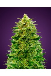 Auto Amnesia de Advanced Seeds