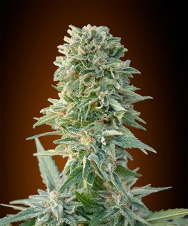 comprar Auto Jack Herer de Advanced Seeds