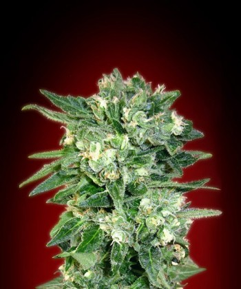 Comprar Auto Kaya 47 de Advanced Seeds