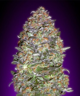 comprar Auto Nyc Diesel de Advanced Seeds