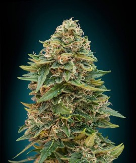 comprar Auto Skunk 47 de Advanced Seeds