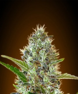 comprar Auto Somango de Advanced Seeds