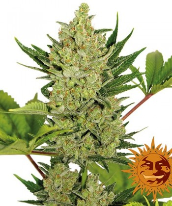 Comprar Auto Blue Cheese de Barney's Farm