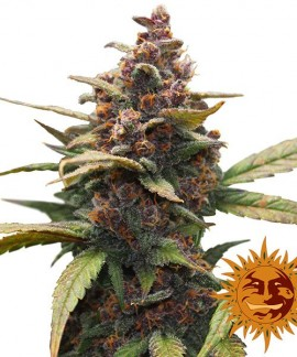 comprar Ayahuasca Purple de Barney`s Farm