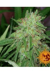 Tangerine Dream de Barney's Farm
