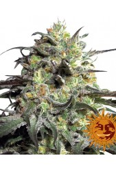 Peyote Cookies de Barney's Farm