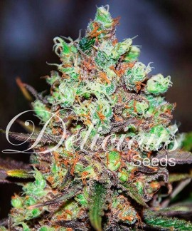 comprar Cotton Candy de Delicious Seeds