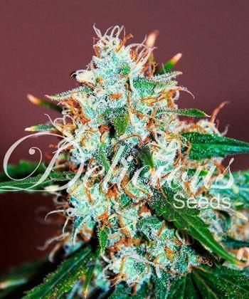 Comprar Critical Neville Haze 2.0 de Delicious Seeds