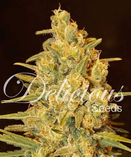 comprar Critical Sensi Star de Delicious Seeds