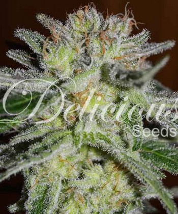 Comprar Northern Light Blue de Delicious Seeds