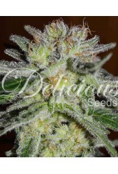 Northern Light Blue de Delicious Seeds