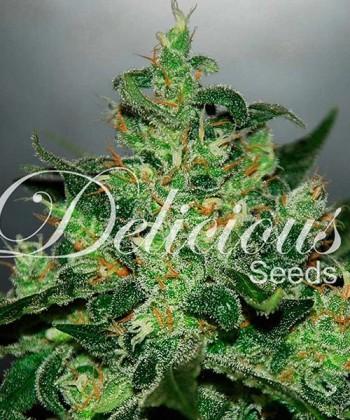 Comprar Critical Jack Herer de Delicious Seeds