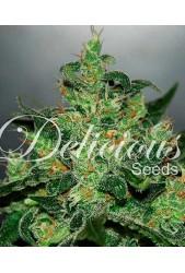 Critical Jack Herer de Delicious Seeds