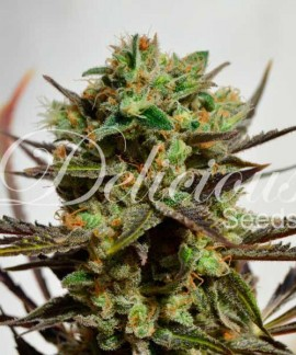 comprar Delicious Candy Auto de Delicious Seeds