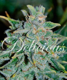 comprar Northern Light Blue Auto de Delicious Seeds