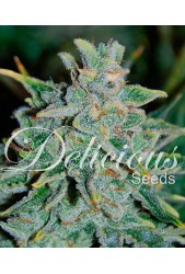 Northern Light Blue Auto de Delicious Seeds