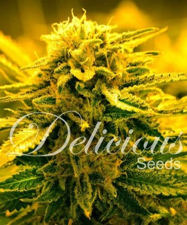 comprar Sugar Black Rose Auto de Delicious Seeds