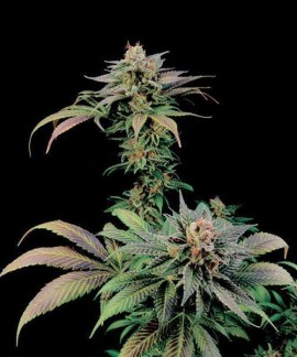 comprar Blue Widow de Dinafem
