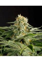 California Hashplant de Dinafem