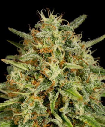 Comprar Strawberry Amnesia de Dinafem