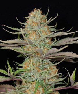 Sweet Deep Grapefruit de Dinafem
