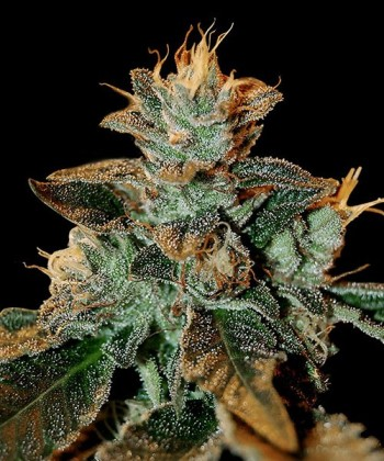 Comprar Cataract Kush de DNA Genetics