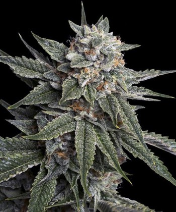 Comprar Holy Grail Kush de DNA Genetics