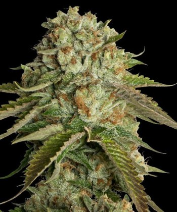 Comprar Kosher Kush de DNA Genetics