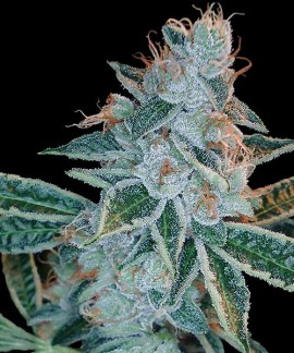 comprar Lemon OG Kush de DNA Genetics