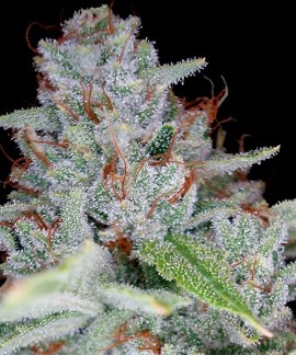 comprar Skywalker Kush de DNA Genetics