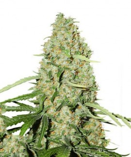 comprar White Widow x The Ultimate