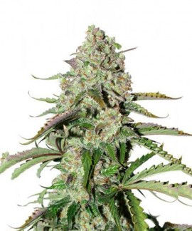 comprar Auto Colorado Cookies de Dutch Passion