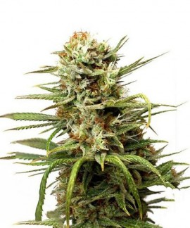 comprar Auto White Widow de Dutch Passion