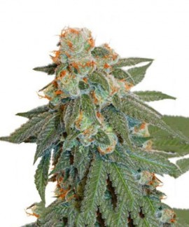 comprar Auto Orange Bud de Dutch Passion