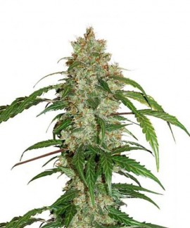 comprar Cbd Auto White Widow