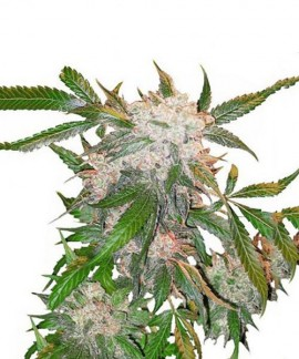 comprar White Widow de Dutch Passion