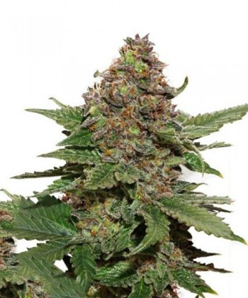 Comprar Strawberry Cough de Dutch Passion