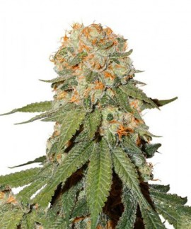 Orange Bud de Dutch Passion